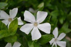 Vinca minor 'Gertrude Jekyll' kopen? | Plant & Grow Vinca Minor, Plants, Vinca, Growing