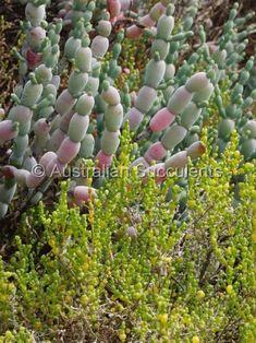 Halosarcia bulbosa - Google Search