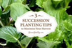 The goal of succession planting is to make the most of your garden space and keep the beds producing fresh harvests throughout the growing season.