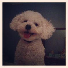 Bichon Frise Havanese love! Cute puppy!