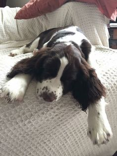 39 Best Spaniels for Ted&Lola images in 2017 | Cute Dogs, Dogs, Pets