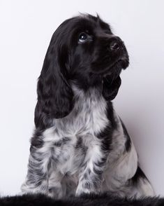 Blue Roan Cocker Spaniel, Cocker Spaniel Puppies, English Cocker Spaniel, Cute Dogs And Puppies, Baby Dogs, Pet Dogs, Doggies, Andalusian Horse, Friesian Horse