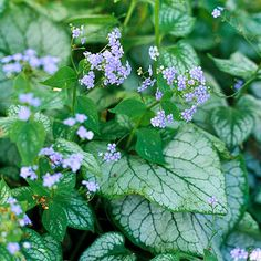 Brunnera - Deer Resistant     A shade plant, it bears beautiful clusters of sky-blue flowers in spring. There are variegated selections such as 'Jack Frost' or 'Looking Glass' and you can enjoy its beautiful foliage straight through frost.       Plant Name: Brunnera macrophylla       Growing Conditions: Shade and moist, well-drained soil          Size: To 2 feet tall and wide     Zones:  3 - 7