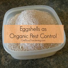 Eggshells as Organic Pest Control ~ Allow eggshells to dry a couple of days, grind shells using a designated coffee grinder. After grinding, sprinkle directly on any beetles, sprinkle liberally on damaged leaves and around base of plants against slugs, snails and flea beetles. Reapply after a heavy rain.