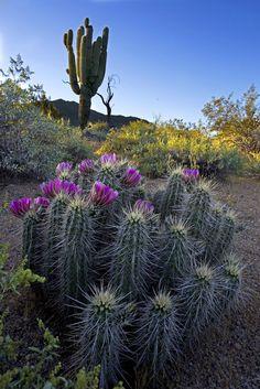Desert Spring Bloom by Sue Cullumber on Capture My Arizona // Hedgehog cactus in bloom in the Sonoran Desert.