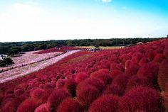 Hitachi Seaside Park in Hitachinaka, Ibaraki, Japan   129 Places Worth Visiting Once in a Lifetime
