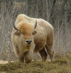 """⊕ on """"My soul is in the white buffalo. And now I'm back in the guise of a man."""" -Chief Tatanka""""My soul is in the white buffalo. And now I'm back in the guise of a man. Majestic Animals, Rare Animals, Animals And Pets, Strange Animals, Unusual Animals, Beautiful Creatures, Animals Beautiful, American Bison, American Coins"""