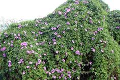 Cairo Morning Glory Seeds ( Ipomea palmata ) Aka Mile-a-minute Vine, Flowers Vine Ground Covering, Vine Leaves, Garden Maintenance, Herb Seeds, Organic Herbs, Lavender Flowers, Creepers, Cairo, Garden Beds
