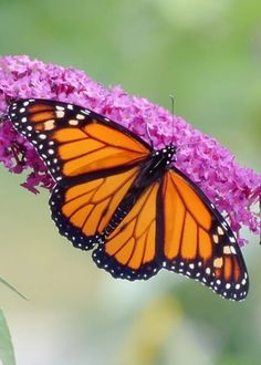 Male Monarch Butterfly Greeting Card for Sale by MTBobbins Photography