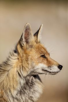 Red Fox by Eloy Muñoz on 500px