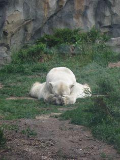 Still wondering who he's hiding from ; Brookfield Zoo, Polar Bear, Around The Worlds, Nice, Animals, Animales, Animaux, Animal, Animais