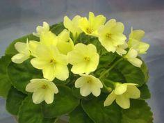 Saintpaulia Alchemy Morning Star [香港花展 Hong Kong Flower Show] Photo by 阿橋花譜 KHQ Flowers on Flickr