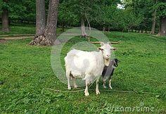 A goat in the forest Condrita Moldova