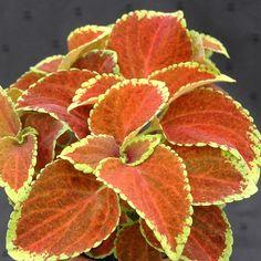 Fairway Orange Coleus