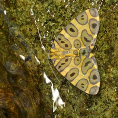 Leopard moth, Pantherodes sp., Geometridae