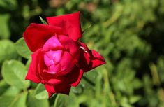 40+Red rose image download free Rose Images, Click Photo, Red Roses, Flowers, Plants, Free, Plant, Royal Icing Flowers, Flower
