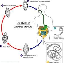 Microbiological diagram sample bacterial endospore formation whipworms life cycle starts when the female lays eggs in the large intestine of an ccuart Images