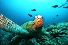 Overfishing is a big killer of coral. A Giant Green Turtle rests on a reef at a diving site near the island of Sipadan in the Celebes Sea east of Borneo.