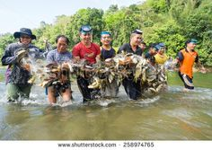 Kiulu, Sabah Malaysia - March 9, 2015. A group of unidentified villagers carry a fishing net full of fish during fish harvesting season at Kiulu, Sabah.on March 9, 2015.