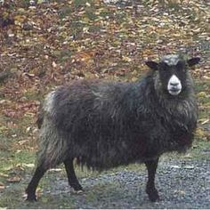 Old norwegian spel sheep