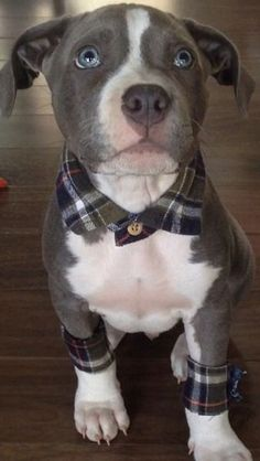 SUCH A SWEET FACE: HOW COULD PEOPLE BE SOOO CRUEL AND TRAIN THEM TO FIGHT AND KILL?? REPORT ABUSE & NEGLECT!! PASS IT ON!!This pit bull puppy has flannel accessories. He wins all the things.