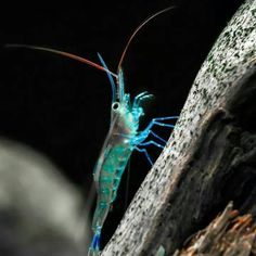Animals: Caridina caerulea - Blue Leg Shrimp Just like all of them Sulawesi Shrimps an outstanding Beauty.Unfortunately you can`t keep them into a Freshwater Aquascape.Too Bad!