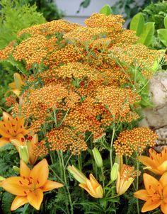 Gemeine Schafgarbe 'Feuerland' • Achillea millefolium 'Feuerland' • Schafgarbe 'Feuerland' • Pflanzen & Blumen • 99Roots.com