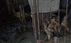 Pseudohodwla owczarka niemieckiego Psy w małych klatkach, bez dostępu do światła dziennego, bez pożywienia w skandalicznych warunkach sanitarnych. To tylk
