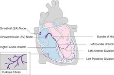Diagram of the heart showing blood flow through the main chambers diagram of the heart showing the cardiac conduction system ccuart Images