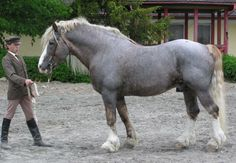 dapple blue roan Belgian Draft Horse. Whoever buys me this horse I will love them forever.