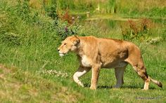 Lioness by Little Brown Job, via Flickr