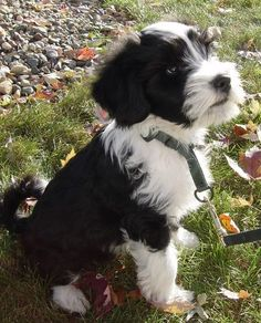 Norman the Tibetan Terrier Cute Dogs Breeds, Dog Breeds, Puppies And Kitties, Cute Puppies, Puppy Biting, Tibetan Terrier, Pitbull Terrier, Dog Photos, Norman