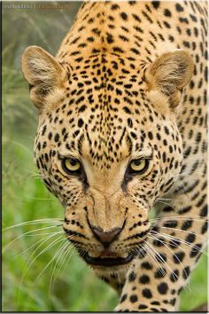 Leopard Staredown by Conrad Tan shot at Kruger National Preserve, South Africa.