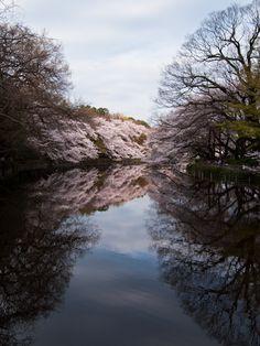 Cherry trees at Kichijoji, Tokyo, Japan  Missionary friends of mine lived in Kichijoji.