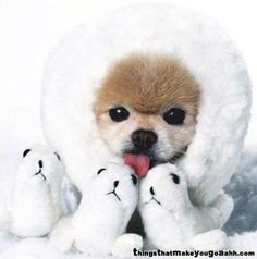 Pomeranian! I think I just died of a cuteness overload!