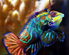 Gobies | Blennies| Jawfish