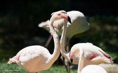 Fenicotteri innamorati, via Zoo di Falconara (AN)