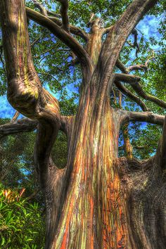 Rainbow eucalyptus tree on the road to Hana, Hawaii