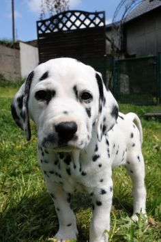 dalmatian puppy