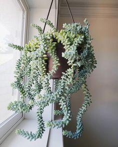 Burros Tail Succulent Plant #plantshang hängen  #burros #hangen #plant #plantshang #succulent