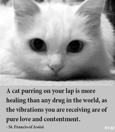 A Cat purring on your lap is more healing than any drug in the world, as the vibrations you are receiving are pure love and contentment. #barefootalk