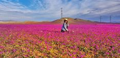 O milagre do Deserto Florido! Chile, Mountains, Travel, 10 Years, Nature, Tips, Viajes, Chili Powder, Traveling