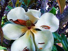 Arty Magnolia | Flickr - Photo Sharing!