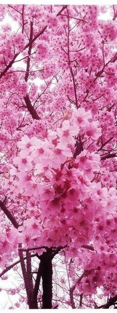 Pink Sakura ✿⊱╮ Beautiful Pictures