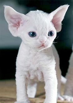 Baby Devon Rex. So cute!