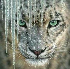 Gömülü resim Most Beautiful Pictures, Exotic Pets, Exotic Animals, Cross Paintings, Snow Leopard, Diamond Paint, Animal Drawings, Big Cats, Valentina Shevchenko