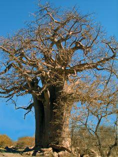 Baobab tree.   Botswana.