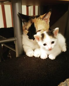 Avec maman  #cat  #cats  #mother  #maman  #chat by just1white http://www.australiaunwrapped.com/