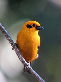 Goud Tangare - Chestnut-breasted Tanager (Tangara Arthus)