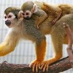 New Arrival of Baby Squirrel Monkey at Khao Kheow Open Zoo